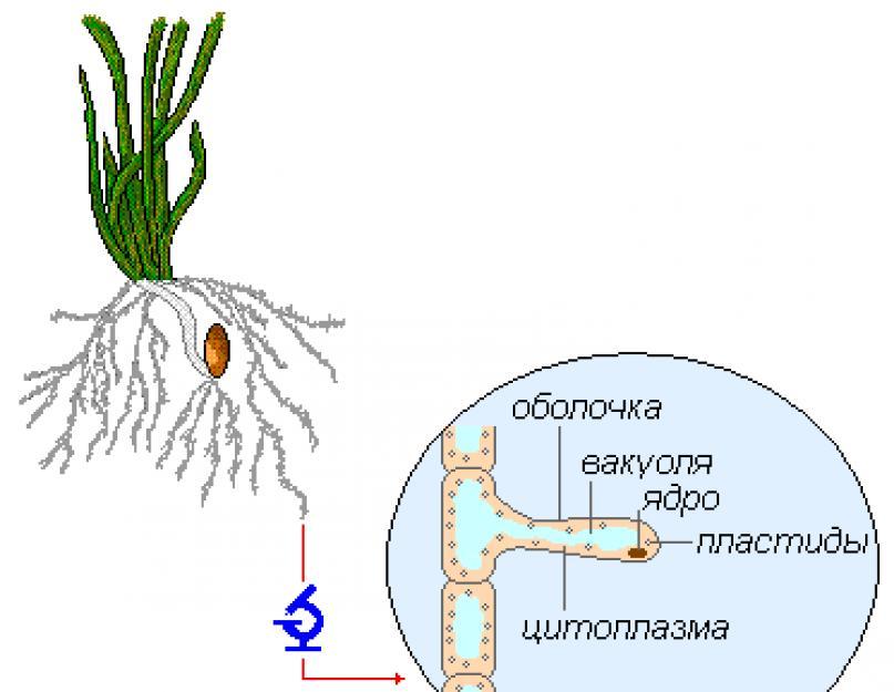 гифы грибы в отличие от корневых волосков знака зодиака