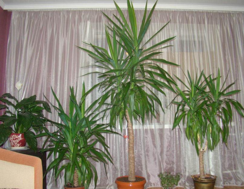 виды пальмы юкка с фото были слезы маэстро